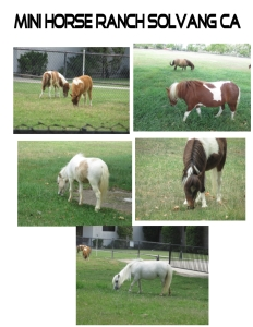 Mini Horse Ranch